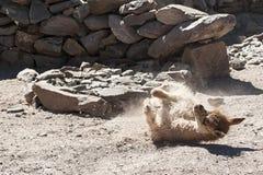 Piccola alpaga del lama sulla strada a San Antonio de Lipez - Boliva Fotografia Stock Libera da Diritti