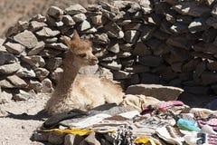 Piccola alpaga del lama sulla strada a San Antonio de Lipez - Boliva Fotografia Stock