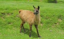 Piccola alpaga domestica su erba verde Fotografia Stock Libera da Diritti