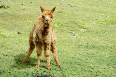 Piccola alpaga marrone sveglia Fotografie Stock