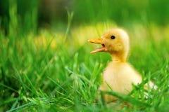 Piccola anatra di erba verde Fotografie Stock