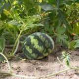 Piccola anguria nel bel tempo del giardino in fine Fotografia Stock
