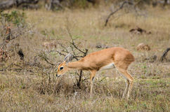 Piccola antilope del klipspringer, parco nazionale di Kruger, Sudafrica fotografie stock