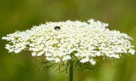 Piccola ape su carota selvatica Fotografia Stock