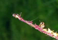 Piccola ape su polline Immagini Stock
