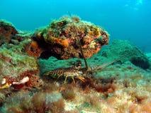 Piccola aragosta della Florida Fotografia Stock