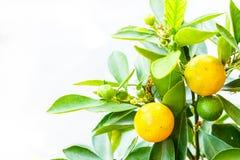 Piccola arancia sull'albero Fotografie Stock Libere da Diritti
