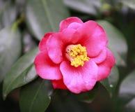 Piccola aurora rossa di Rosa, camelia rosa del Bengala, japonica in piena fioritura con la foglia verde fotografie stock libere da diritti