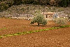 Piccola azienda agricola in Croazia con il campo di olivo Fotografia Stock Libera da Diritti