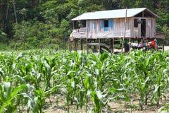 Piccola azienda agricola sull'isola del fiume di Amazon, Brasile Fotografia Stock