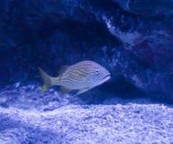 Piccola bocca tropicale a strisce bianca gialla o pesce a strisce blu di grugnito che nuota in un paesaggio acquatico subacqueo d fotografie stock