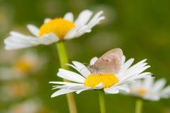 Piccola brughiera (pamphilus di coenonympha) Fotografie Stock