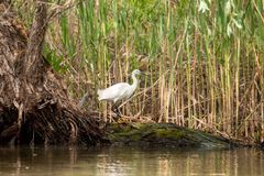 Piccola caccia dell'egretta, con il pesce nel becco, delta di Danubio, bird-watching della fauna selvatica della Romania immagine stock libera da diritti