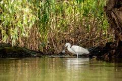 Piccola caccia dell'egretta, con il pesce nel becco, delta di Danubio, bird-watching della fauna selvatica della Romania fotografie stock libere da diritti
