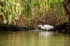 Piccola caccia dell'egretta, con il pesce nel becco, delta di Danubio, bird-watching della fauna selvatica della Romania immagine stock