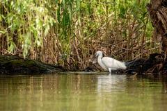 Piccola caccia dell'egretta, con il pesce nel becco, delta di Danubio, bird-watching della fauna selvatica della Romania fotografia stock