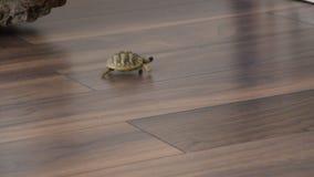 Piccola camminata della tartaruga dell'interno archivi video
