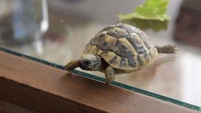 Piccola camminata della tartaruga dell'interno video d archivio