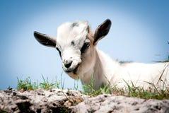 Piccola capra Fotografia Stock