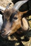 Piccola capra Immagini Stock