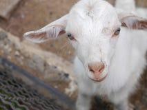 Piccola capra Fotografie Stock Libere da Diritti