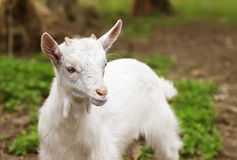 Piccola capra bianca fotografia stock