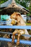 Piccola capra che cerca un certo alimento fotografia stock libera da diritti