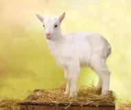 Piccola capra curiosa del bambino Fotografia Stock