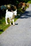 Piccola capra del bambino con il gregge della capra che cammina sulla strada della montagna Fotografia Stock Libera da Diritti