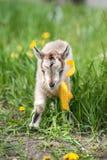 Piccola capra grigia sveglia Fotografia Stock