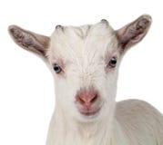 Piccola capra isolata immagine stock