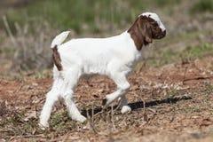 Piccola capra marrone e bianca che cammina nel pascolo Fotografia Stock