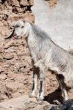 Piccola capra sveglia Fotografia Stock