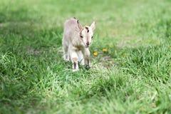 Piccola capra sveglia Immagini Stock