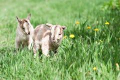 Piccola capra sveglia Immagine Stock Libera da Diritti