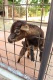 Piccola capra sveglia sull'azienda agricola Immagini Stock Libere da Diritti