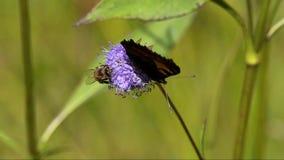 Piccola carapace della farfalla (urticae di Aglais, urticae del Nymphalis) stock footage