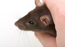 Piccola cattura del mouse del primo piano in mano umana Fotografie Stock