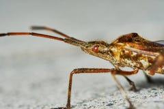 Piccola cavalletta marrone Fotografie Stock