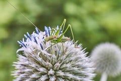 Piccola cavalletta verde sul fiore fotografia stock libera da diritti