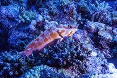 Piccola cernia in Coral Reef Immagine Stock