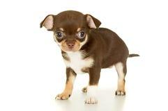 Piccola chihuahua marrone del cucciolo fotografie stock