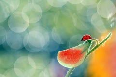 Piccola coccinella rossa Immagini Stock Libere da Diritti