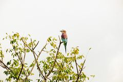Piccola condizione africana dell'uccello sopra un ramo fotografia stock