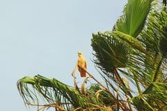 Piccola Corella Cockatoo che si appollaia sulla palma Fotografia Stock Libera da Diritti