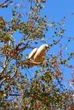 Piccola Corella Cockatoo che si siede sul ramo di albero, foraggiamento, Australia occidentale Immagini Stock