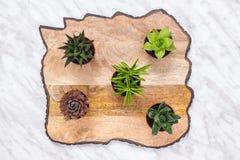 Piccola crassulacee su bella superficie di legno Fotografia Stock Libera da Diritti