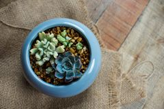 Piccola crassulacee in una piantatrice ceramica disposizione dei succulenti; cactus Fotografie Stock
