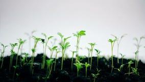 Piccola crescita della pianta verde, isolata su bianco, intervallo di ora legale di primavera, nuova vita video d archivio