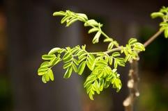Piccola crescita delle foglie di moringa Fotografia Stock